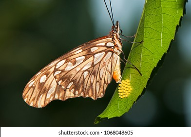 Butterfly laying eggs in passion fruit leaf.