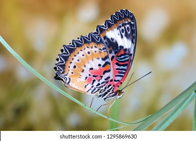 Butterfly : Leopard lacewing butterfly (Cethosia cyane). Lacewing butterfly (Male) in tropical rainforest of Phuket Thailand. Selective focus, blurred background and copy space