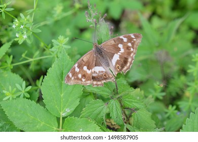 The butterfly lives on the Alps at 1400 meters of height. The insect is brown and white. The wings are wide open.