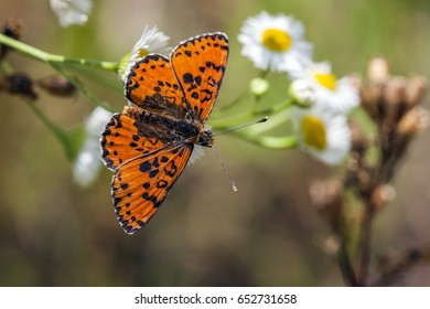 The butterfly (Lycaena dispar) is sitting on a camomile