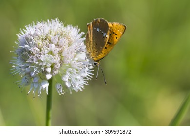 butterfly of Lycaenidae brown color close-up collects nectar from a white flower