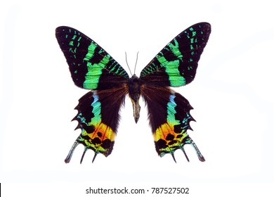 Butterfly : Madagascan Sunset Moth (Chrysiridia rhipheus) ,World's  most impressive coloful  and beautiful with iridescent parts of the wings. Isolated on white background. Butterfly /Moth