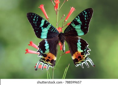 Butterfly : Madagascan Sunset Moth (Chrysiridia rhipheus) ,World's  most impressive coloful  and beautiful with iridescent parts of the wings. Selective focus. Butterfly /Moth