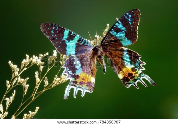 Sưu tập Bộ cánh vẩy 2 - Page 25 Butterfly-madagascan-sunset-moth-chrysiridia-600w-784350907