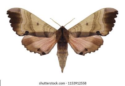 Butterfly Marumba gaschkewitschii on a white background