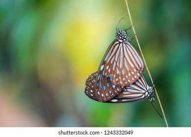 Butterfly mating or having sex on a tree branch in forest