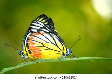 Butterfly mating on the leaf