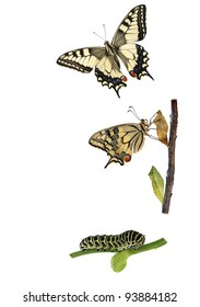 Butterfly Metamorphosis. Metamorphosis of the swallowtail butterfly (Papilio machaon) showing caterpillar, chrysalis and adult.