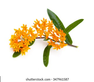 Butterfly Milkweed (Asclepias tuberosa) on a white background