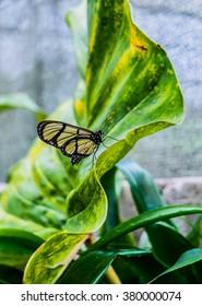 Butterfly in Mindo, Ecuador