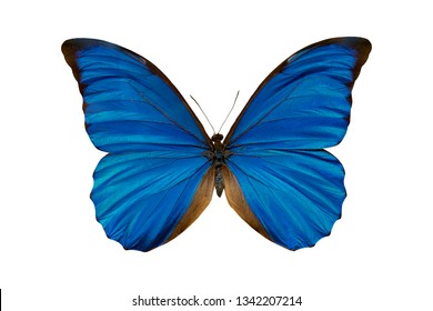 Butterfly morpho anaxibia collection.