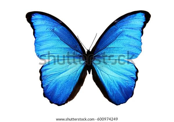 Butterfly Morpho Didius Stock Photo Edit Now 600974249