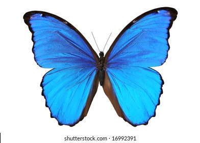 Butterfly (Morpho menelaus) in blue tones isolated against a white background