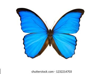 butterfly morpho nestira isolated on white background