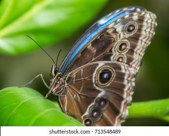 butterfly, Morpho peleides, blue morphology