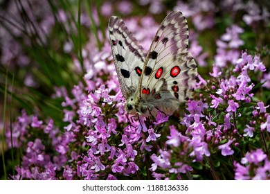 Butterfly Mountain apollo (Parnassius apollo) on heather pink flowers field. White color red dots butterfly in purple heather background. Close-up of beautiful colorful butterfly wings scenic photo