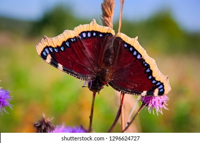 Butterfly Mourning Cloak Nymphalis antiopa sitting on a flower on a blurred background