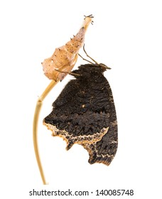 Butterfly Mourning Cloak (Nymphalis antiopa) next to his shell pupae