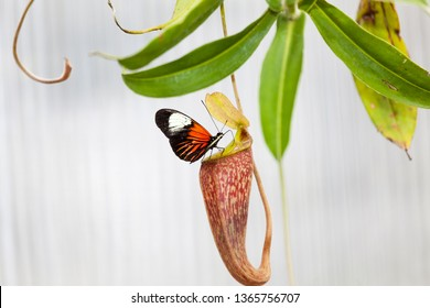 Butterfly in the mouth of a carnivorous plant