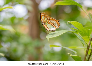 Butterfly named malachite butterfly (Siproeta stelenes), macro photography. Fullsize photo!