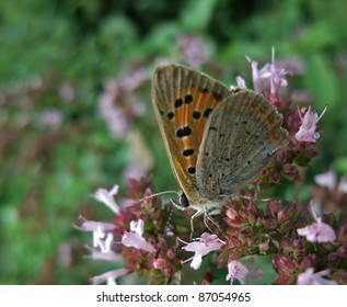 """a butterfly named """"Small Copper"""" while sitting on pink flowers"""