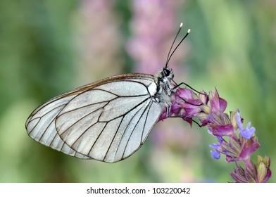 butterfly in natural habitat (aporia crataegi)