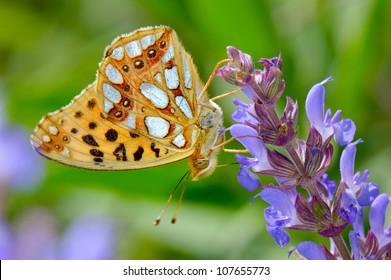 butterfly in natural habitat (issoria lathonia)
