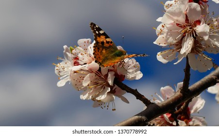 Butterfly in nature. Insect on white flower plant. Blooming cherry tree in the garden. Cherry flowers close up. Natural blurred background.