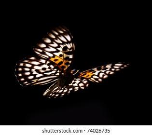 Butterfly Neurosigma Siva Nonius isolated on black