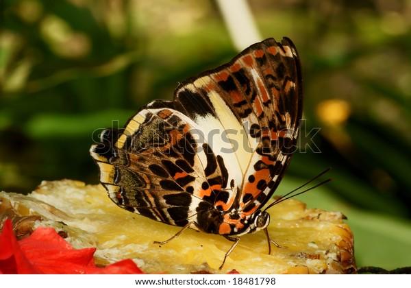 Bộ sưu tập cánh vẩy 4 - Page 25 Butterfly-nymphalidae-agatasa-calydonia-600w-18481798