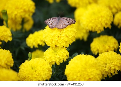 butterfly on beautiful marigold flower background.