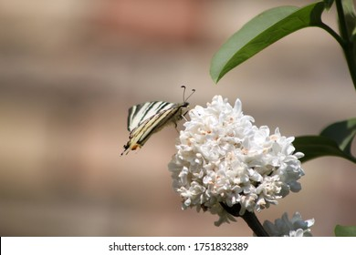 Butterfly on big white inflorescence