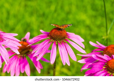 Butterfly on a blossoming flower of Echinacea closeup