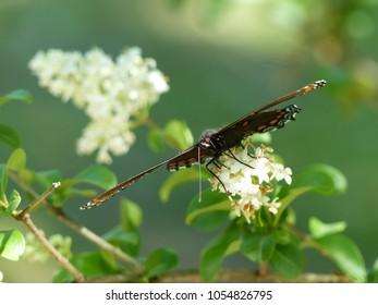 Butterfly on Butterfly Bush
