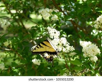 Butterfly on a Butterfly Bush
