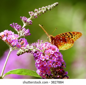 butterfly on a butterfly bush