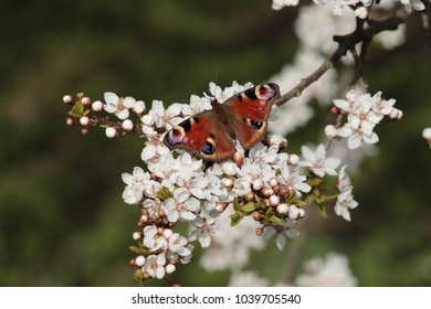 Butterfly on a cherry blossom
