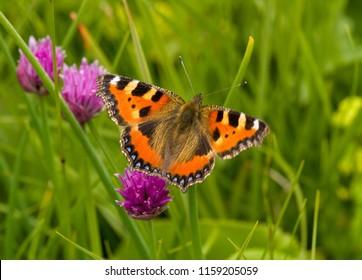Butterfly on chive herb flowers (Allium schoenoprasum)