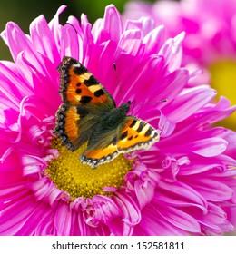 Butterfly on a chrysanthemum flower closeup