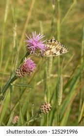 Butterfly on a cornflower
