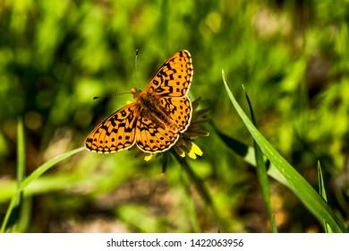 Butterfly on a dandellion (Dark green fritillary)