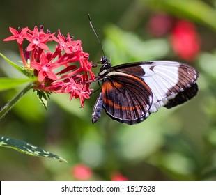 Butterfly on Flower in Costa Rica