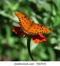 Butterfly on flower with wings spread