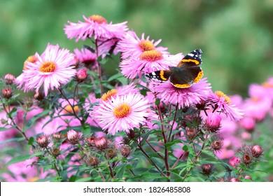 A butterfly on flowers. Purple aster. A flower of aster. Flower in garden. Autumn flowers