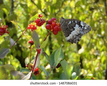 Butterfly on the fruit of the season in nature - Circus of Navacelles in the south of France