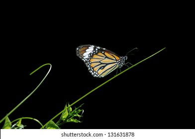 butterfly on Grass on a black background