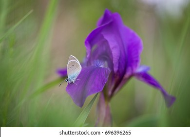 The Butterfly on the Iris