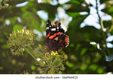 Butterfly on ivy
