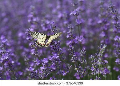 Butterfly on a lavender plant in the garden