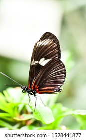 butterfly on leaf, in Arenal Volcano area in costa rica central america, butterfly background , digital image picture